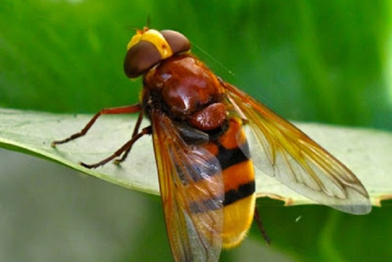 Hornet mimic hoverfly.